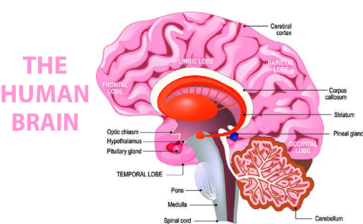 The Human Brain Showing the Location of the Pineal Gland